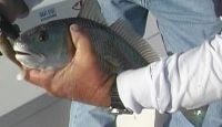 Join Capt. Bob for more wintertime fishing action from D&#39;s Canal out of Leeville in Lafourche ParishSoutheast La.