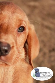 Sporting Life Kennels - Sporting Life Kennels is a full service retriever training facility. We specialize in British Labradors, including puppies, started dogs, and finished dogs. We also train all breeds for upland and duck hunting.