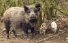 Hog Commander
