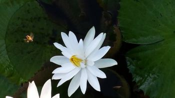 CathyDominic Beard: Water Lilly and Honey Bee