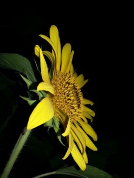 BryanMcGovern Beard: Summer Sunflowers
