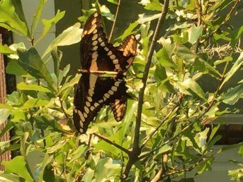 Amyzeringue Beard: Butterflies