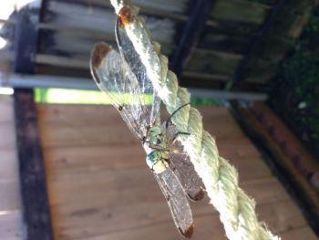 ChadHumphries Beard: Dragon Fly
