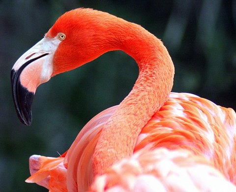Flamingo-Charles Flowers