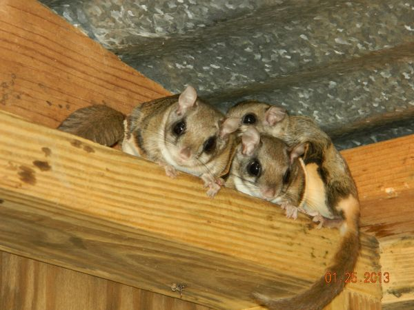 Flying Squirrel Condo - Terri Box