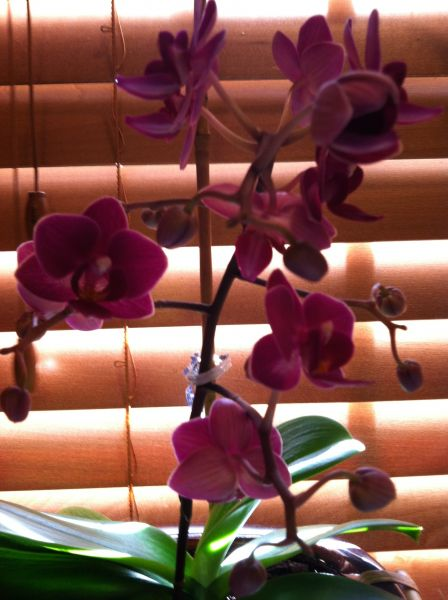 Chris Junior's orchid