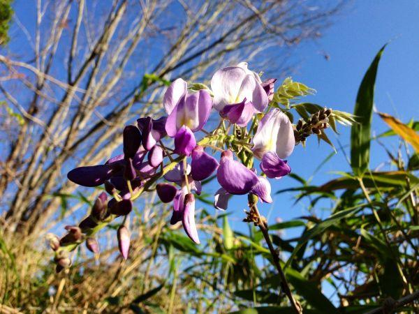 Signs of spring ;) WISTERIA ;)-DonnaGiardina