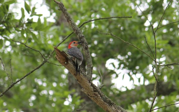 The woodpeckers are back - Clara Nicholas