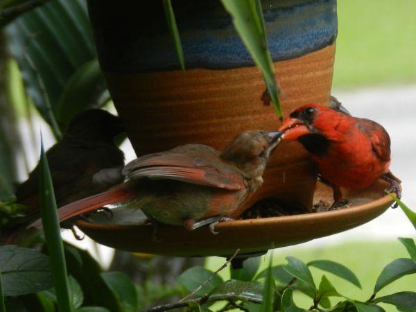 Cardinal Breakfast Time-GwenCashio