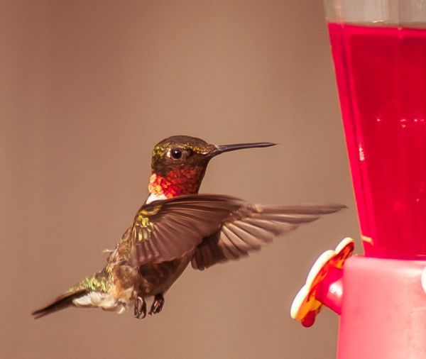 Hummingbirds in my backyard. - charles flowers