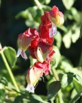 Dale Weldon Beard: Shrimp plant flower