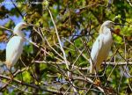 Mike Peters Beard: Snowy Egrets