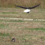Joe Sherrill Beard: Bald Eagle Grabs Small Nutria