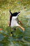 DarrenRoberts Beard: MARCH WINNER: Ducking duck