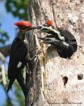 MikePeters Beard: JUNE WINNER: Woodpecker twins