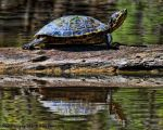 Mike Peters Beard: Louisiana Painted Turtle