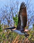 Mike Peters Beard: Louisiana Brown Pelican In Flight