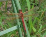 Alice  Versher Beard: Red Dragon Fly