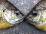 ChelsieMatherne Beard: Love is Fishy!