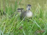 MelissaPercle Beard: Up close with baby wood duck