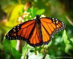 MikePeters Beard: Monarch Butterfly
