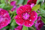 Carolyn Rappold Beard: Rain drops on flower