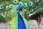 SadiePeters Beard: Strutting Peacock In Full Plumage
