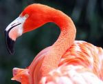 Charles  Flowers Beard: Flamingo