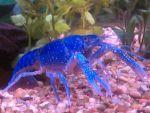 TerriBox Beard: mais cher' - its ah blue mud bug!!