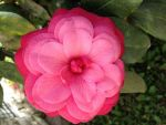 Gay Prindle Beard: Colorful Camellia