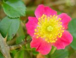 MICHAEL CARTER Beard: Wild growing American Pillar Rose