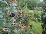 Gary Deroche Beard: Back Yard Blackberries