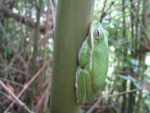 Tree Frog on a stick, Photo submitted by Gary Deroche