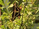Butterflies, Photo submitted by Amy zeringue