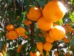 Sweet Satsumas in Luling, Photo submitted by Gary Deroche