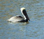 CharmaineAllesandro Beard: Pelican Visit