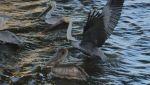 KrystalDufrene Beard: Des Allemands Pelicans